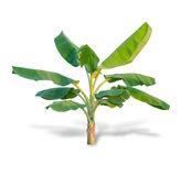 Banana trees isolated on white background. File contains a clipping path Stock Photos