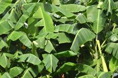 Banana trees Stock Photo