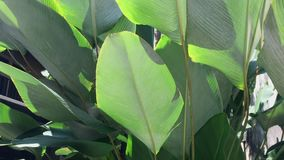 Banana trees and leaves. At the park in George Town, Penang, Malaysia stock video footage