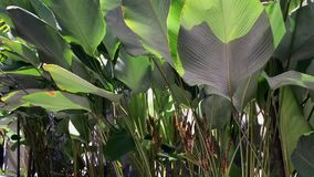 Banana trees and leaves. Planted at the park in George Town, Penang, Malaysia stock video