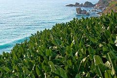 Banana Trees by The Sea. Turkish Banana trees located and captured betwen Gazipasa and Alanya right next to Mediterranan  Sea Royalty Free Stock Photography