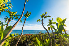 Banana trees by the shore in Malibu Stock Images