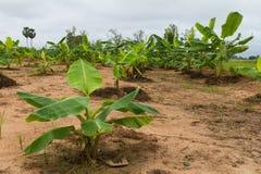Banana trees Stock Photos