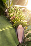 Banana trunk with sun rays Royalty Free Stock Image