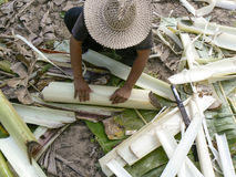 Banana trunks being harvested. A farmer harvesting banana trunks in Thailand Royalty Free Stock Photo