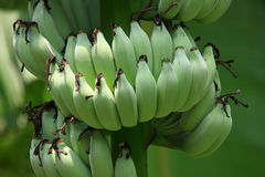 Banana unripe Royalty Free Stock Photography
