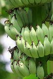 Banana unripe Royalty Free Stock Images