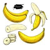 Banana ustalony wektorowy rysunek Odosobniona ręka rysująca wiązka, łupa banan i pokrajać kawałki, Lato owoc artystyczna ilustracja wektor