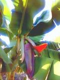 Banana verde Fotos de Stock Royalty Free