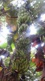 Banana verde Fotografia Stock Libera da Diritti