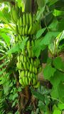 Banana verde immagine stock
