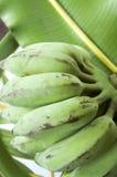 Banana verde Imagem de Stock Royalty Free