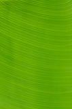 Banana verde Imagens de Stock Royalty Free
