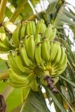 A banana verde na árvore Fotografia de Stock Royalty Free