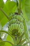 Banana verde su un albero. Immagini Stock Libere da Diritti
