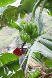 banana zieleni spojrzenie bardzo Fotografia Stock