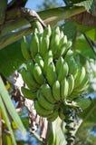 banana zieleni spojrzenie bardzo Obraz Stock