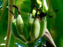 banana zieleni spojrzenie bardzo Obrazy Stock