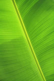 banana zielona liść tekstura Fotografia Stock