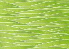 Banana Zielony liść zdjęcia stock