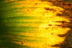 Bananaleaf Στοκ φωτογραφία με δικαίωμα ελεύθερης χρήσης