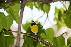 Bananaquit鸟在库拉索岛 免版税图库摄影