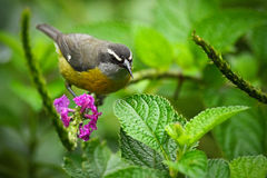 Bananaquit,强制flaveola,异乎寻常的热带歌曲鸟坐桃红色花 灰色和黄色鸟在自然栖所 Anim 免版税图库摄影