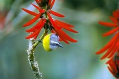 Bananaquit, посетитель бразильской птицы частый садов стоковые изображения