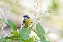 Bananaquit, посетитель бразильской птицы частый садов стоковые фотографии rf