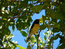 Bananaquit foto de stock royalty free