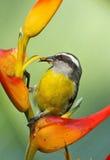 Bananaquit Stock Image