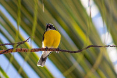 Bananaquit Fotos de Stock