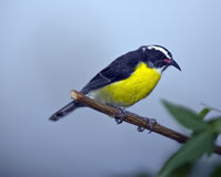 Bananaquit Royalty Free Stock Photo