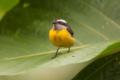 Bananaquit Obrazy Royalty Free