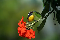 Bananaquit Royalty Free Stock Images