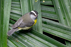 Bananaquit Bird on Palm Leaves Royalty Free Stock Photos