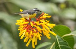 Bananaquit bird on yellow flowers, Ecuador. Close up of a small passerine bird,Bananaquit perching on colorful yellow and red flowers at Copalinga Lodge,Zamora Royalty Free Stock Photo