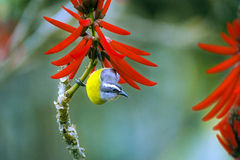 Bananaquit, Brazilian bird frequent visitor of the gardens Stock Images