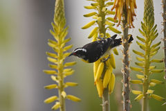 Bananaquit (Coereba flaveola bonariensis) Royalty Free Stock Photo