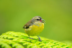 Bananaquit, Coereba flaveola, common bird from Costa Rica tropic forest. Bananaquit sitting on the green leave. Wildlife scene fro Stock Photography