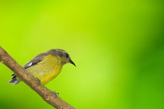 Bananaquit Royalty Free Stock Photos