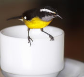 Bananaquit on a cup of tea Royalty Free Stock Photo