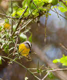 Bananaquit eating a berry Royalty Free Stock Image