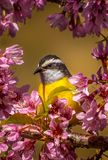 Bananaquit portraited vid blommor Royaltyfria Foton