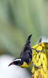 Bananaquit (sedis dos incertae) Imagens de Stock Royalty Free