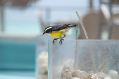 Bananaquit Stock Photo