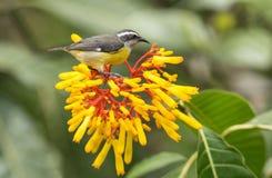 Bananaquit-Vogel auf gelben Blumen, Ecuador Lizenzfreies Stockfoto