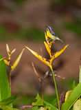 Bananaquit with yellow flowers Stock Photos