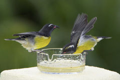 Bananaquits having a sweet tooth. Bananaquit birds feeding on sugared water out of a ash-tray, Guadeloupe, Caribbean royalty free stock photography