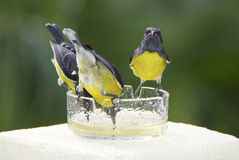 Bananaquits having a sweet tooth. Three Bananaquit birds feeding on sugared water out of a ash-tray, Guadeloupe, Caribbean royalty free stock photo